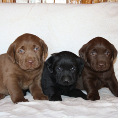 Aboheme Puppies